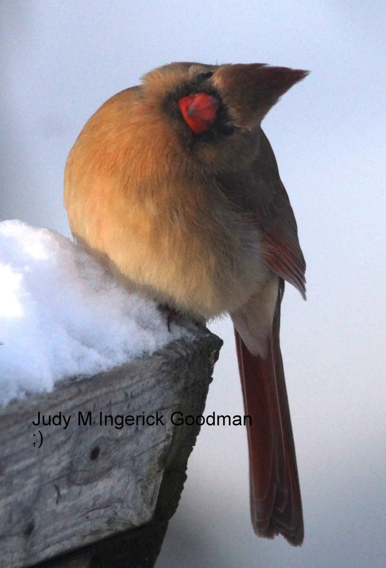Cold cardinal (photo)
